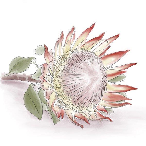 Eine Blüte des Zuckerbusch –Protea. Ihre Heimat ist in Südafrika.