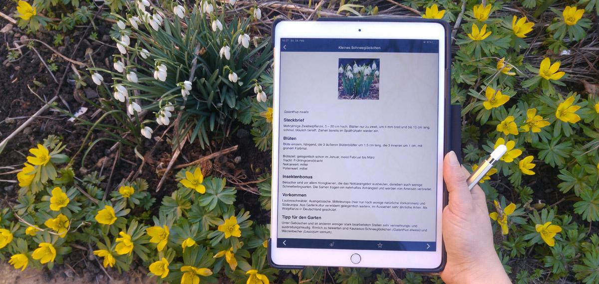 Der Steckbrief des Schneeglöckchens klärt über die Pflanze, vor allem aber über den Nutzen für Insekten auf.