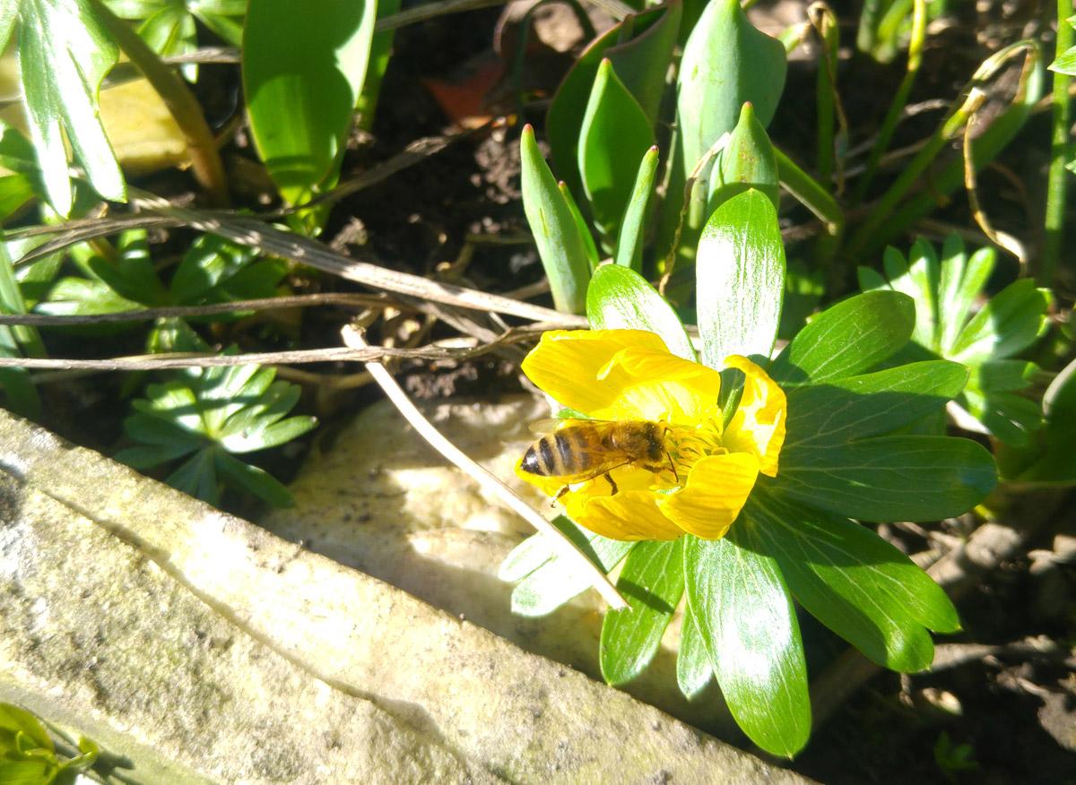 Mein Garten ist ein Place to Bee - die gelben Winterlinge locken die ersten Bienen und Hummeln.